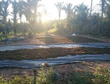 PI: Polícia descobre plantação de maconha com mais de 60 mil plantas